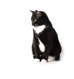 Cute tuxedo cat on white. Cute black and white tuxedo cat on white background Stock Photos