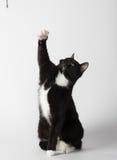 Cute tuxedo cat on white. Cute black and white tuxedo cat playing on white background stock image