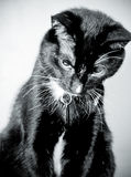 Cute black and white tuxedo cat sitting looking down Royalty Free Stock Image