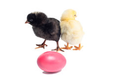 Cute black and yellow baby chickens Royalty Free Stock Photography