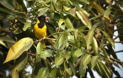 A cute black and yellow bird on a tree stock photography