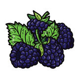 Cute blackberries. Vector cute hand drawn colorful blackberries and leaf Royalty Free Stock Images