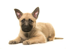 Cute blond dutch shepherd puppy lying down on the floor  Royalty Free Stock Photos