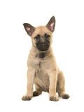Cute blond dutch shepherd puppy Royalty Free Stock Photos
