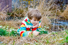 Cute blond preschool kid boy discovering first spring flowers, beautiful snowdrops Stock Photos
