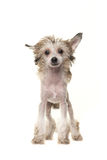 Cute blond standing naked chinese crested dog Royalty Free Stock Images