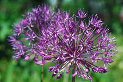 Cute blooming purple allium flower close up Royalty Free Stock Photos