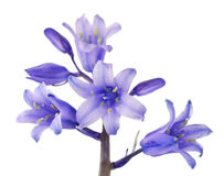 Cute Blue Bells Flower Isolated on White Stock Photography