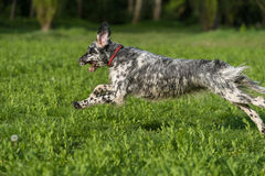 Cute blue belton English Setter dog is running cross on a meadow Stock Photography