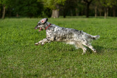 Cute blue belton English Setter dog is running cross on a meadow Stock Image