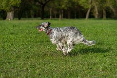 Cute blue belton English Setter dog is running cross on a meadow Stock Photos