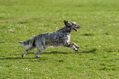 Cute blue belton English Setter dog is running cross on a meadow Stock Images