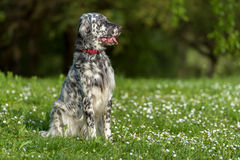 Cute blue belton English Setter dog is sitting in a spring meado Stock Photo