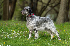 Cute blue belton English Setter dog in a spring flowering meadow Royalty Free Stock Photo