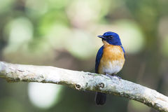 A cute blue bird. This is a Mangrove Blue flycatcher, male. found in wild forest in a forest reserve in Malaysia Stock Photos