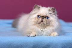 Cute blue-cream colorpoint persian kitten on a blue bed Royalty Free Stock Photo