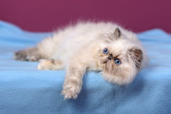 Cute blue-cream colorpoint persian kitten on a blue bed Stock Photos