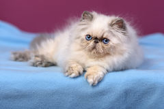 Cute blue-cream colorpoint persian kitten on a blue bed Stock Photography