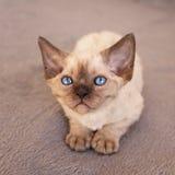 Cute blue eyed Devon Rex kitten Royalty Free Stock Image