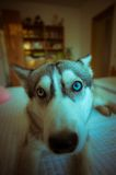 Cute blue-eyed husky puppy Royalty Free Stock Images