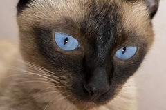 Cute blue-eyed siamese cat Royalty Free Stock Images