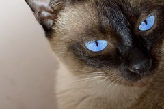Cute blue-eyed siamese cat Royalty Free Stock Photography