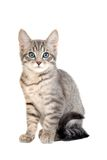 Cute blue eyed tabby kitten. Adorable blue eyed kitten sitting on white Royalty Free Stock Images