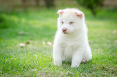 Cute blue eyes puppy Stock Image