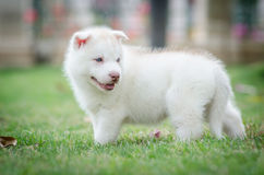Cute blue eyes puppy Royalty Free Stock Photo