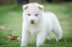 Cute blue eyes puppy Royalty Free Stock Images