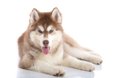 Cute blue eyes siberian husky puppy lying Royalty Free Stock Photos