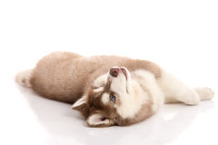 Cute blue eyes siberian husky puppy lying Stock Photo