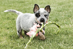 Cute blue healer with flower in mouth Stock Photos