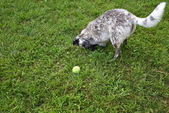 Cute Blue Heeler Doing Somersault. Cute blue heeler / border collie mix playing in grass, doing somersault Stock Photos