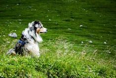 Cute blue merle australian shepherd sitting on the meadow Royalty Free Stock Photography