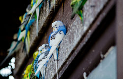 Cute  blue parakeet Stock Photos