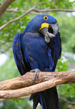 Cute blue parrot. A cute blue parrot stay outside Royalty Free Stock Photography