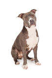 Cute Blue Pit Bull Dog Sitting Stock Image