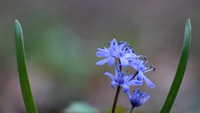 Blue squill flowers and buds, Scilla bifolia, on a sunny spring day, vulnerable nature plant, extreme blurred background video. Cute blue squill flowers and buds stock footage