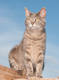Cute blue tabby cat sitting on deck Stock Photography