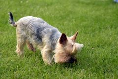 Cute  Blue & Tan Yorkshire Terrier sniff in the gras. Cute  Blue & Tan Yorkshire Terrier sniff in the gras backround wallpaper Royalty Free Stock Photos