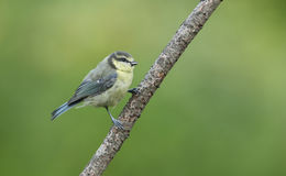 A cute Blue Tit, Cyanistes caeruleus, chick perched on a branch. Stock Images