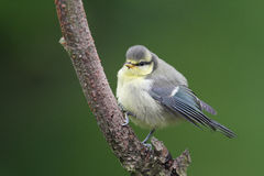A cute Blue Tit, Cyanistes caeruleus, chick perched on a branch. Royalty Free Stock Photo