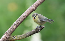 A cute Blue Tit, Cyanistes caeruleus, chick perched on a branch, with its beak open calling to be fed by its parents. Royalty Free Stock Photos