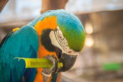 Cute blue-and-yellow macaw (Ara ararauna) is eating food. It's a Royalty Free Stock Photography