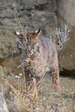 Cute bobcat playing with sage grass Royalty Free Stock Images