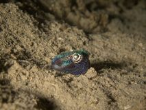 Cute bobtail squid on sand at night underwater royalty free stock photos