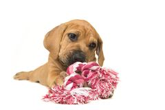 Cute boerboel or South African mastiff puppy lying down chewing on a pink and white woven rope toy. On a white background stock photos