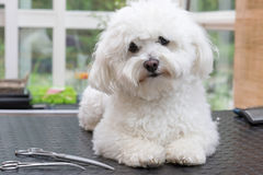 Cute Bologbese dog is waiting for grooming. Cute white Bolognese dog is looking at the camera lying on a table and waiting for grooming. The scissors are lying stock images