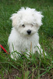 Cute Bolognese puppy. Cute male Bolognese dog puppy stock photo